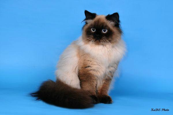 британская кошка колор-поинт окрас