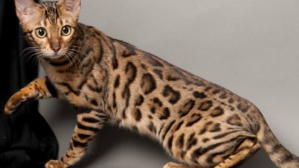 Animals___Cats_A_beautiful_young_Bengal_cat_poses_045477_23[1]