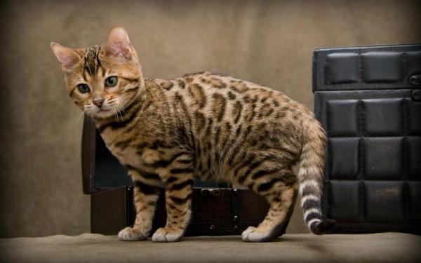 Bengal-Cat[1]