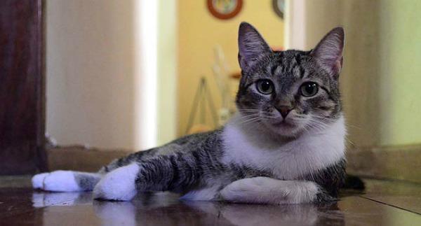 Brazilian-Shorthair-cat-1[1]