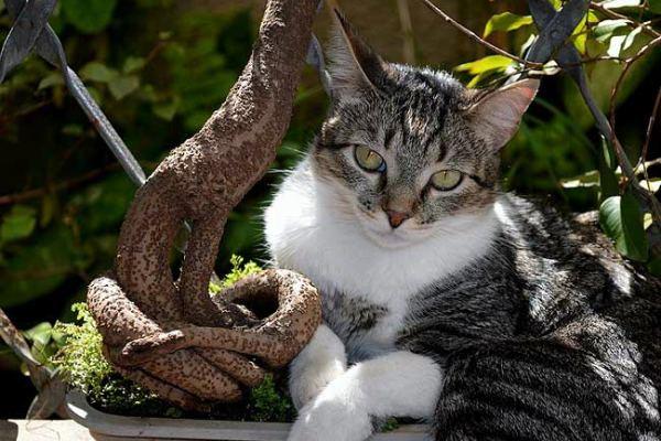 Brazilian-Shorthair-cat-4[1]