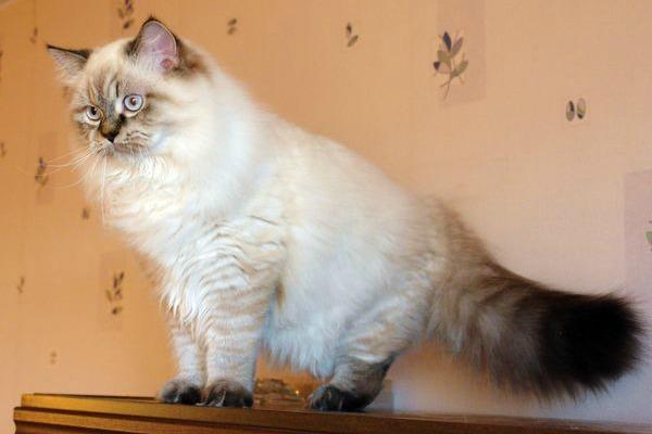 длинношерстная британская кошка табби окрас