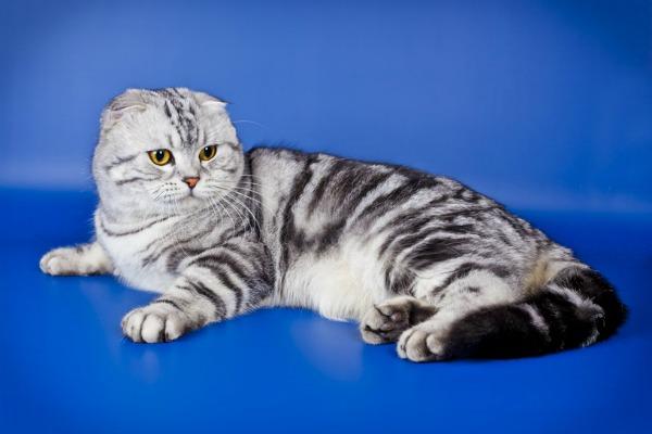табби окрас британский вислоухий кот