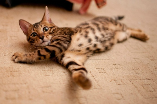 What-are-Bengal-cats-8[1]