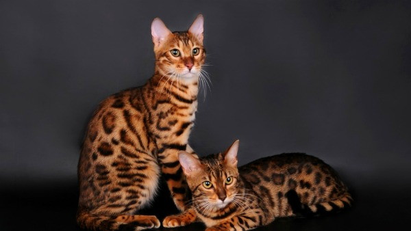 What-are-Bengal-cats-9-1024x576[1]