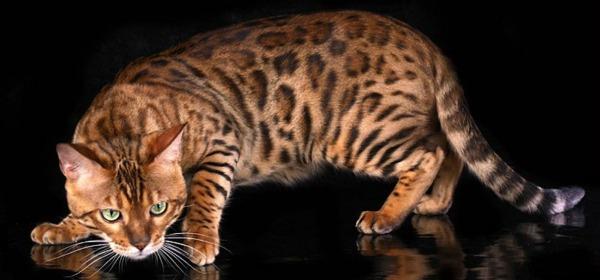 дикий окрас у бенгальской кошки