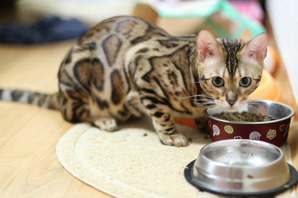 бенгальская кошка кушает