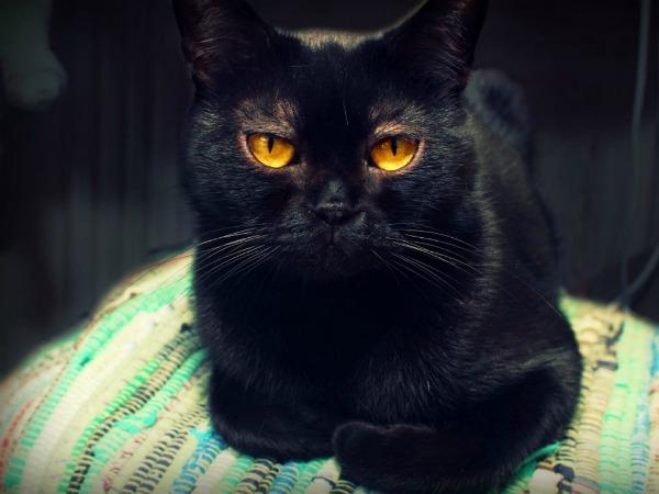 черная бомбейская кошка