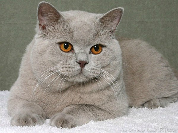 british-shorthair-lilac-bri-c[1]
