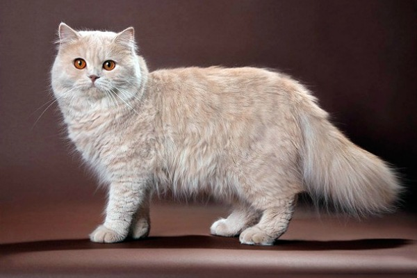 british_longhair_cat[1]