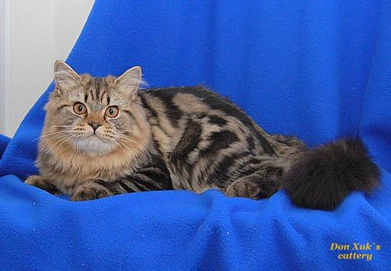 длинношерстный британский кот мраморный окрас