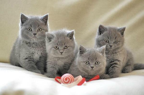 британские котята уход и воспитание