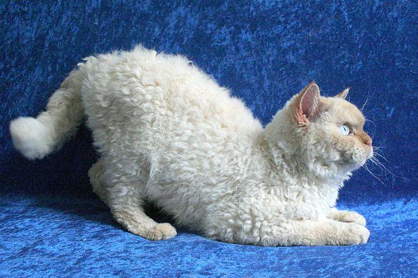 порода кудрявых кошек