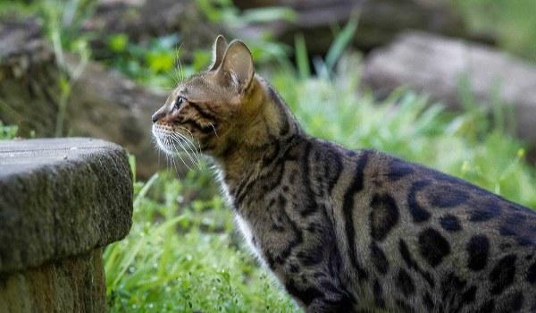 характер у бенгальской кошки