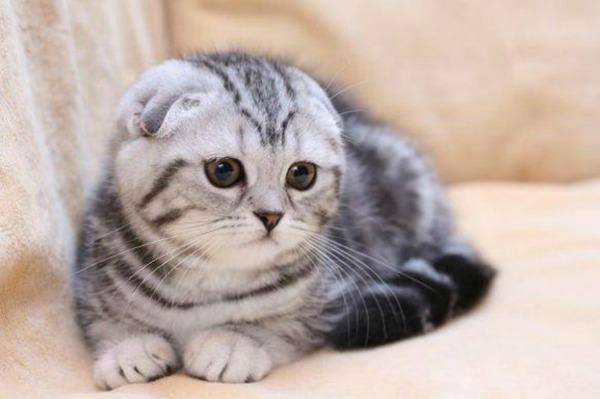 маленький вислоухий британский котенок