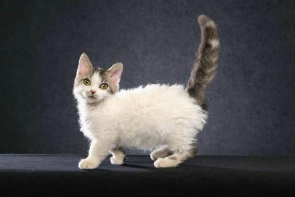 порода кошки скукум