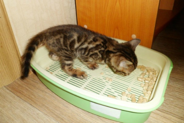 бенгальский котенок и лоток