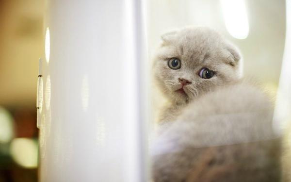 обиженный британский котенок