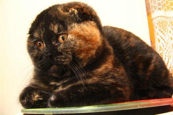 черепаховый окрас британский вислоухий кот