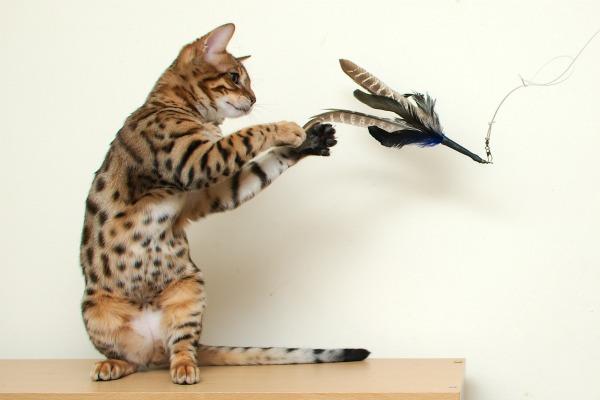 бенгал играется с игрушкой