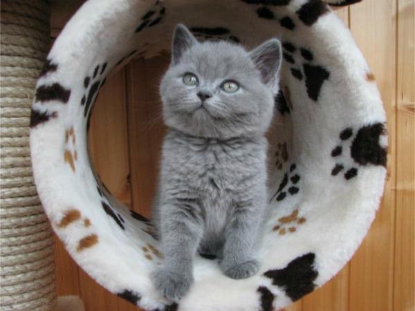 британские котята в домике