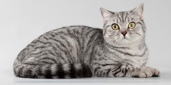 Вискас окрас британская кошка