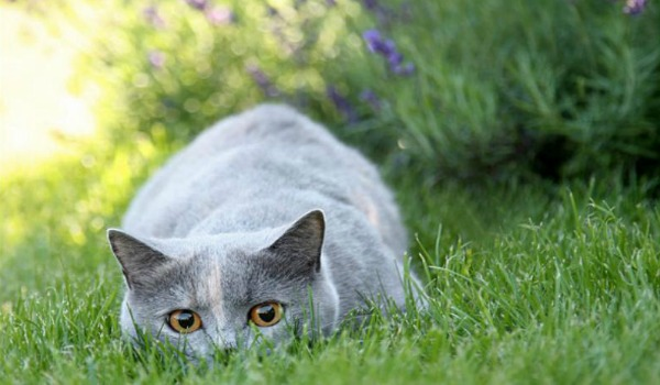 британский котенок на охоте