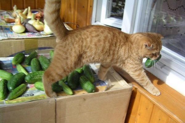 британская кошка ест овощи