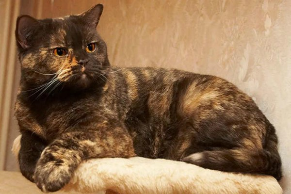 Черепаховый окрас британская кошка