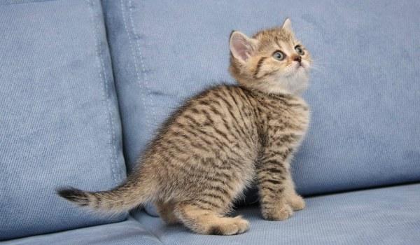 британский полосатый кот тигровый окрас