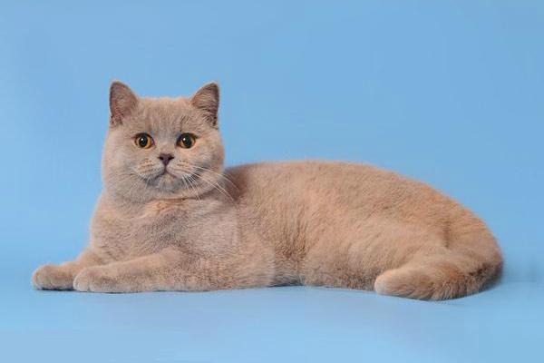 Лиловый окрас британская кошка