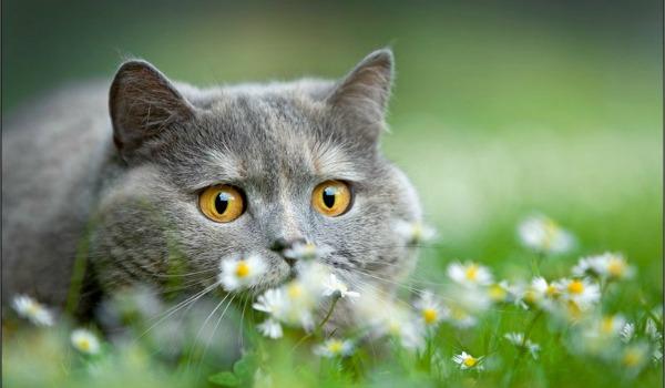 британский кот на природе