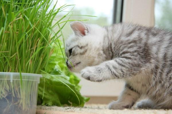 британского кота ест траву
