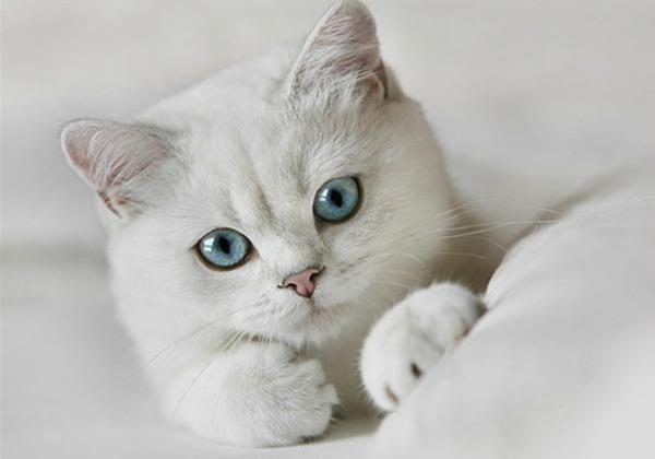 Белый окрас британская кошка