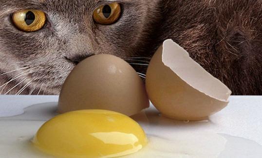 британская кошка ест яйца