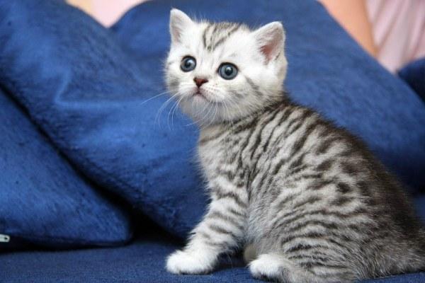 британский полосатый кот пятнистый окрас