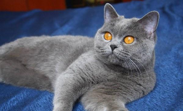 Голубой окрас британская кошка