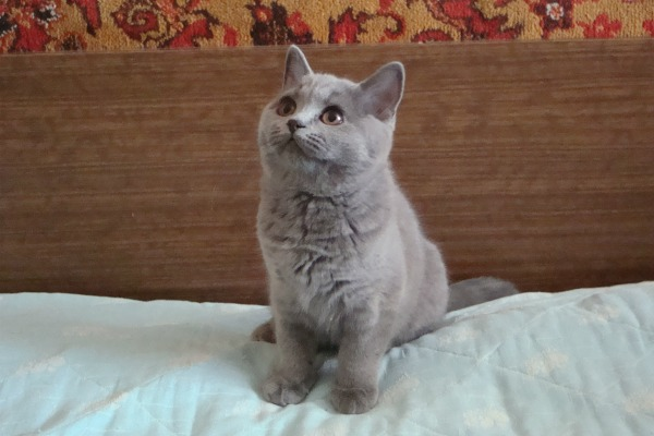 три месяца британский котенок