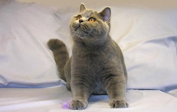 Четыре месяца британский котенок