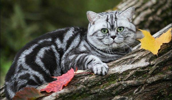 британский полосатый кот табби