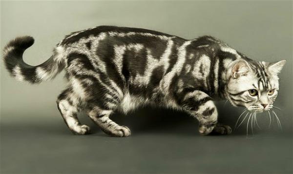 британский полосатый кот мраморный окрас