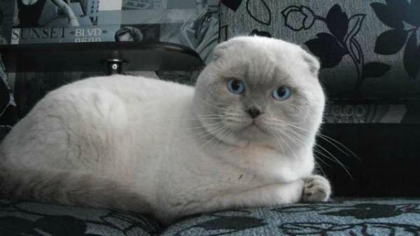 британский вислоухий кот Колор-Пойнт