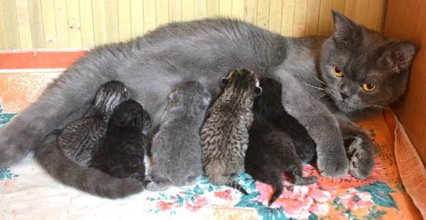 британская кошка родила котят