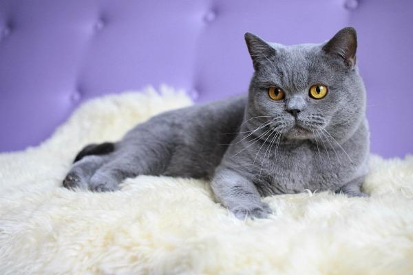 сколько живет британская кошка
