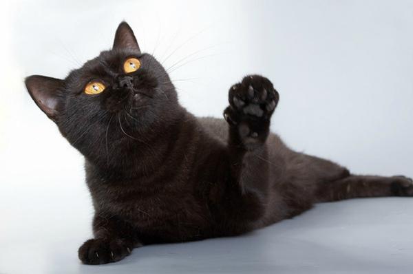 Чёрный окрас британская кошка