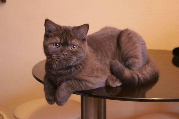 Окрас Шоколадный британская кошка