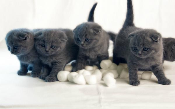шести недельный британский котенок