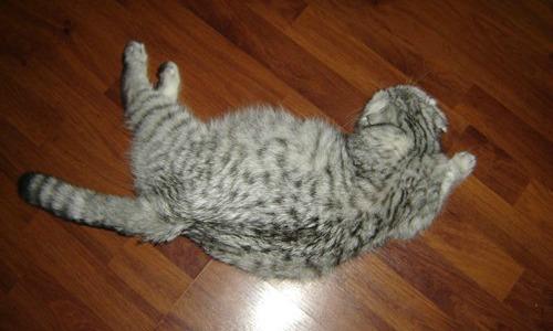 беременная шотландская кошка