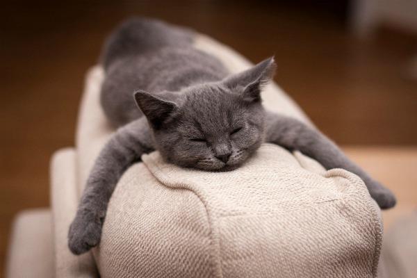 британский котенок спит
