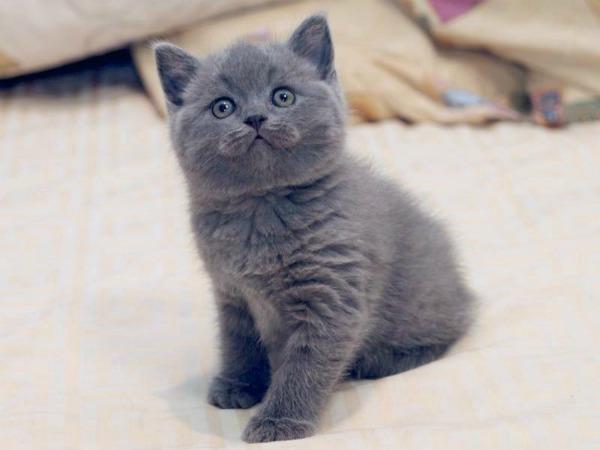 британский котенок плюшевый